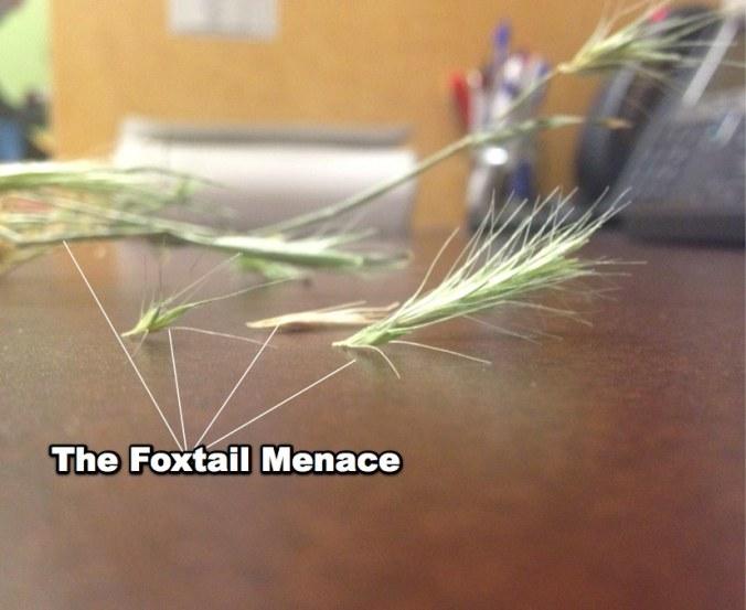 foxtail2e