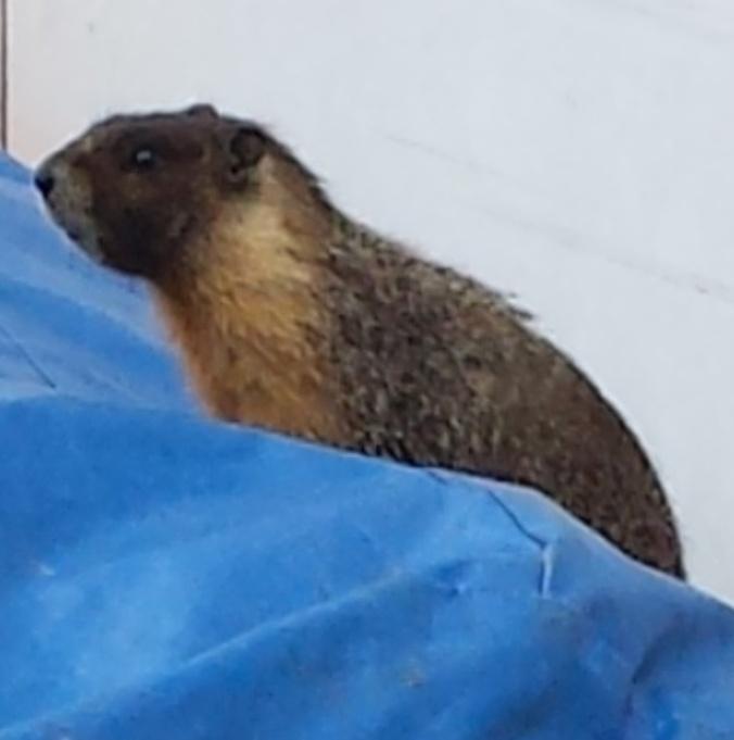 marmot.enlarge