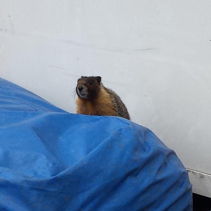 marmotsighting1