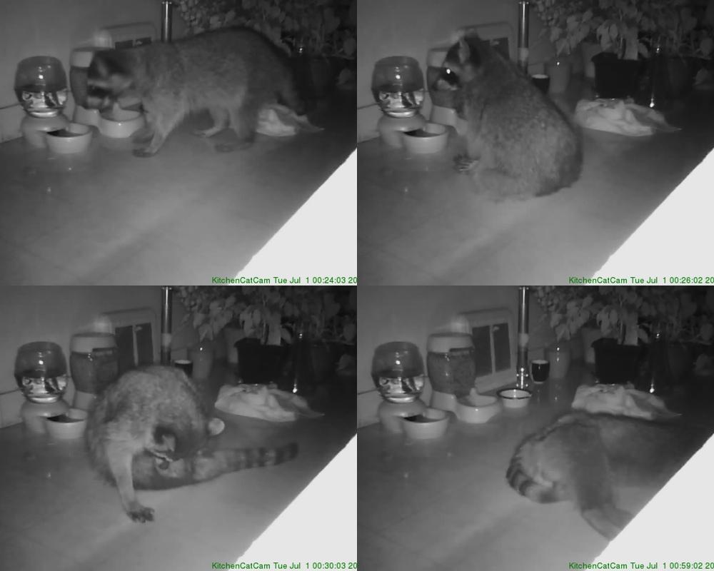 Slacker Raccoon Invades Bernal Home, Plunders Cat Food, Takes Leisurely Nap