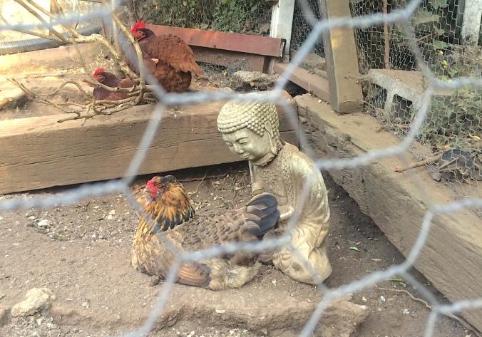 buddhachickens