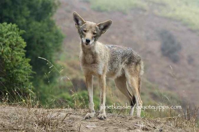 coyote.kessler