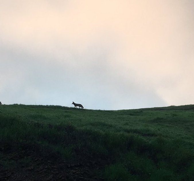 Coyote.bernal