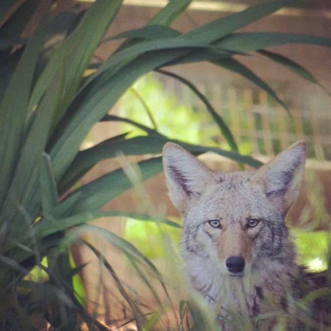 valli1.coyote
