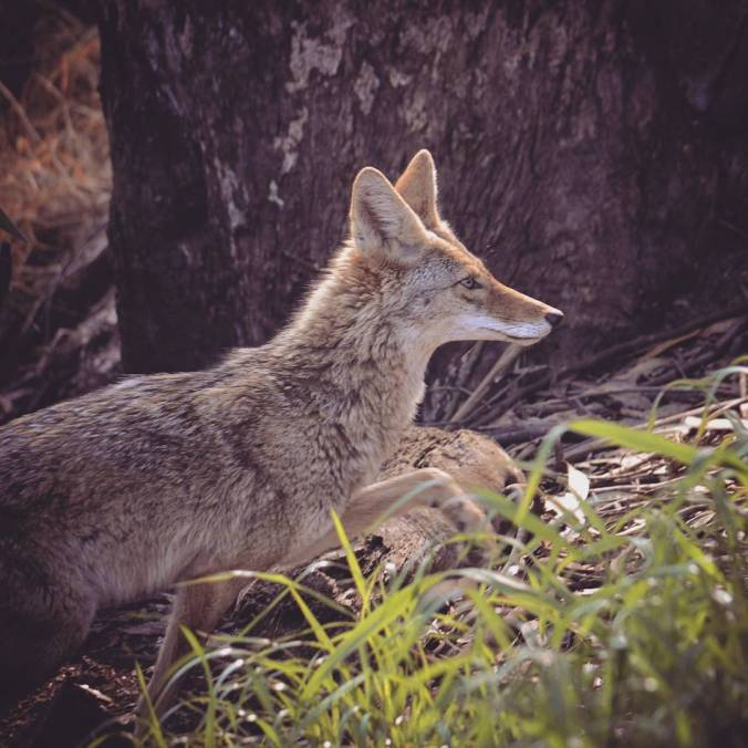 valli2.coyote