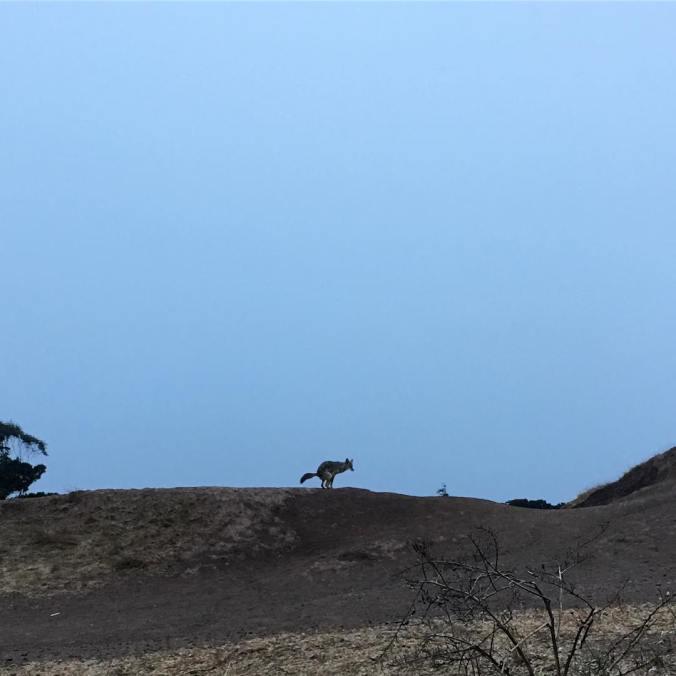 coyotepoop