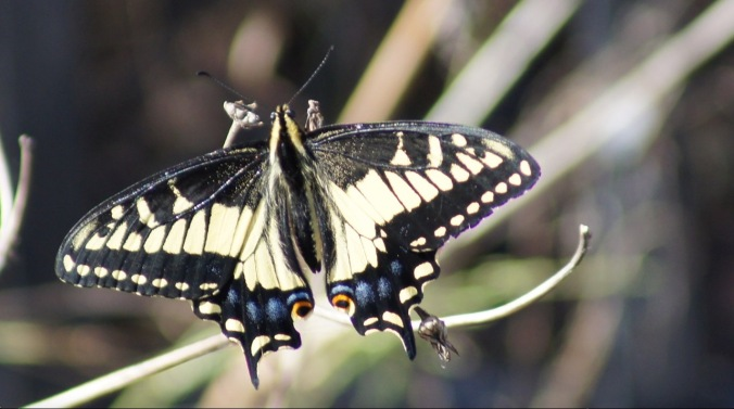 anise_swallowtail_butterfly_closeup_bernal_hill_sep24_2016