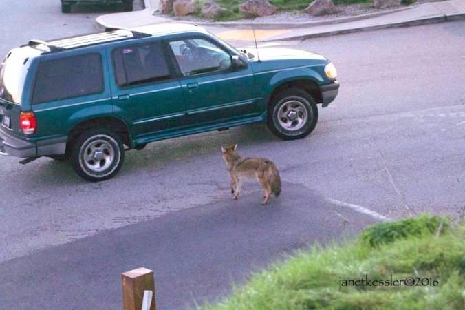 coyote-drivethru