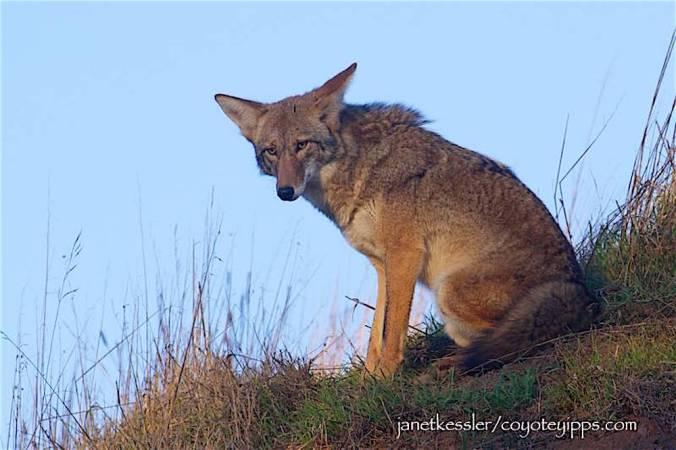 kessler-bernalcoyote